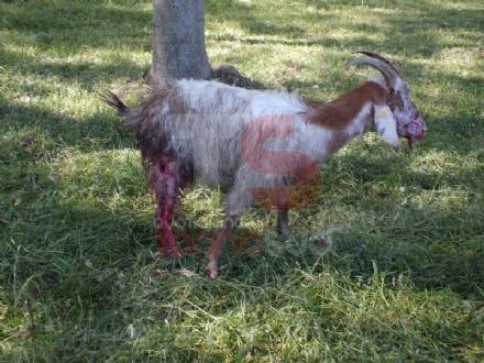 VINOVO - Pitbull impazzito fa strage di pecore in un agriturismo: era scappato al controllo dei padroni
