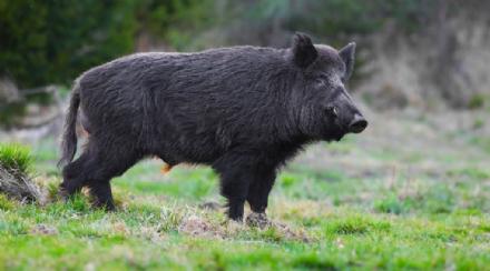 FASE 2 - I danni ai coltivatori per la fauna selvatica: si muovono le associazioni dei cacciatori