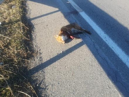 MONCALIERI - Volpe investita sulla 393: un uomo scende dallauto e le taglia la coda
