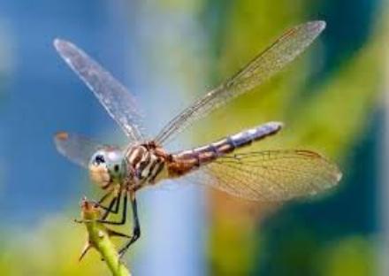 PIOSSASCO - Linvasione di libellule arriva anche nella seconda cintura