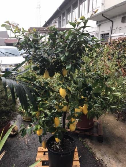 CARMAGNOLA - I ladri rubano addirittura le piante di limoni