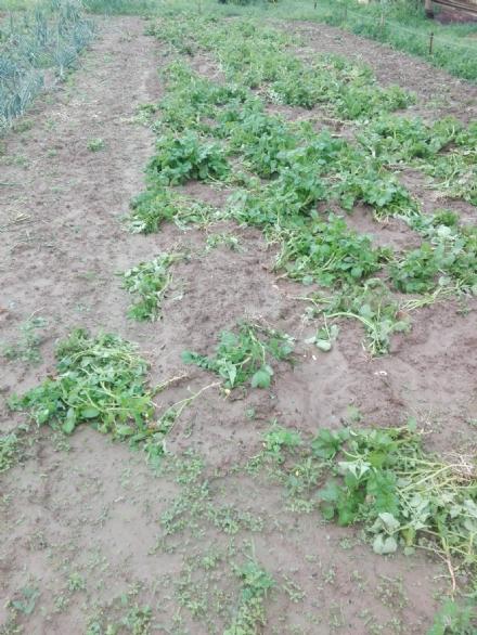 MONCALIERI - Allarme cinghiali al confine con Trofarello: distrutti i raccolti