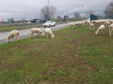 ORBASSANO - Gregge di pecore al Sito Interporto: la stradale le allontana
