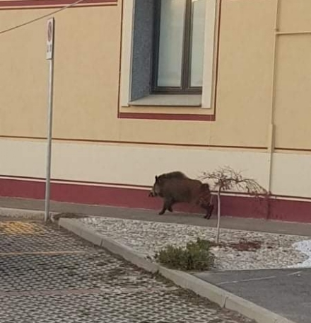 BRUINO - Cinghiale passeggia tranquillamente vicino Cascina Lora