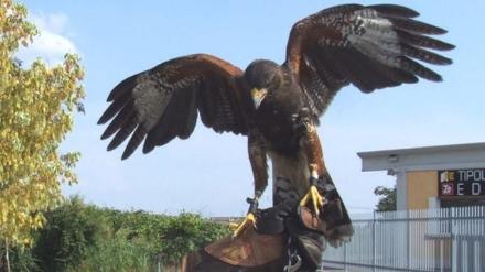 MONCALIERI - Allarme per i troppi piccioni in centro storico. Il Comune ci prova con i falchi