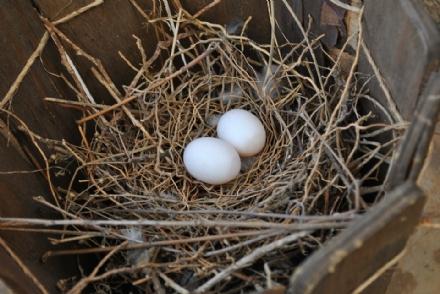 BEINASCO - Mi lanciano le uova sulla macchina... ma erano cadute da un nido di uccelli