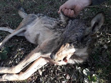 PIOSSASCO - Lupa trovata morta in un campo agricolo a poca distanza dalle cascine