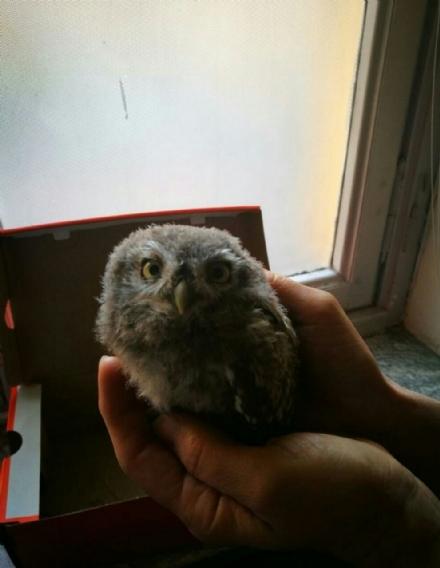 NICHELINO - La polizia locale recupera un cucciolo di civetta caduto dal nido
