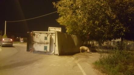 CARIGNANO - Tir carico di maiali si ribalta alla rotonda, muoiono dieci suini - LE FOTO -