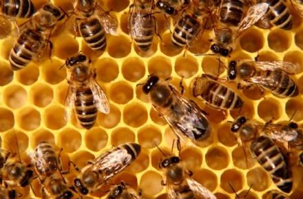 AGRICOLTURA . Coldiretti chiede lo stato di crisi per il settore apistico e frutticolo