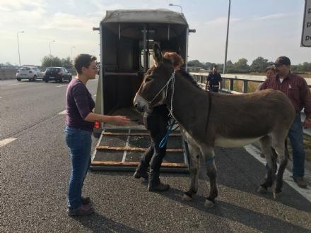 MONCALIERI - Asina scappa dalla stalla ed entra in tangenziale, fermata dalla polizia stradale - LE FOTO -