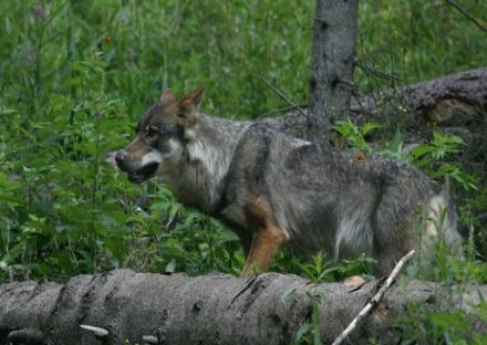ALLARME LUPI - La Lega in Regione: «Contro i lupi serve un vero contenimento. Siamo pronti a fare la nostra parte»