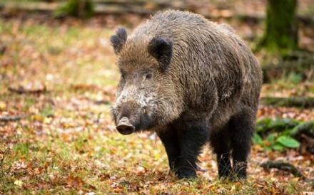 CACCIA - Meno limitazioni per i cacciatori di cinghiali in tutta la Regione Piemonte