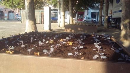 CARMAGNOLA - Le fioriere di piazza IV Martiri diventano orto urbano