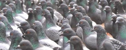 MONCALIERI - Invasione di piccioni: il Comune arruola i falchi per cacciare i pennuti fastidiosi