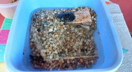 PIOBESI - Abbandonano una tartaruga dacqua in un cortile: gara di solidarietà per aiutarla