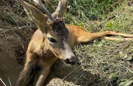 ORBASSANO - Due caprioli investiti: li soccorrono i carabinieri e con i veterinari li salvano