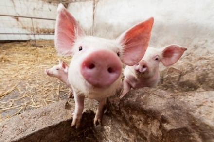 MONCALIERI - Una testa di maiale sul portone: scherzo o episodio mafioso?