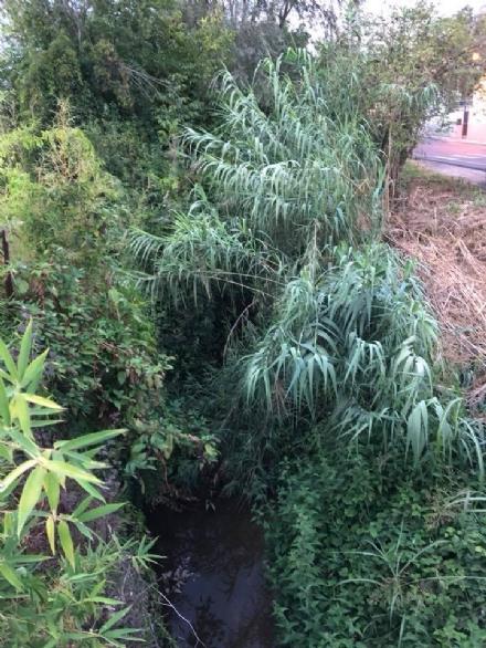 TROFARELLO - Rio Sauglio infestato da erbacce, la preoccupazione dei residenti