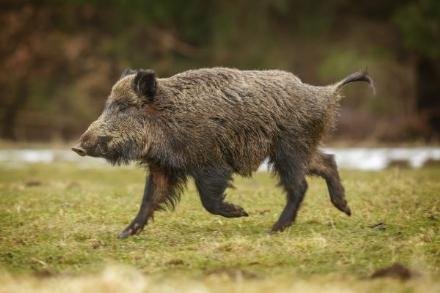 RIVALTA - Torna lallarme per avvistamenti di animali selvatici sulle strade