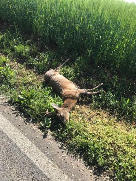 RIVALTA - Allarme per i camosci al Dojrone: investito e ucciso un esemplare