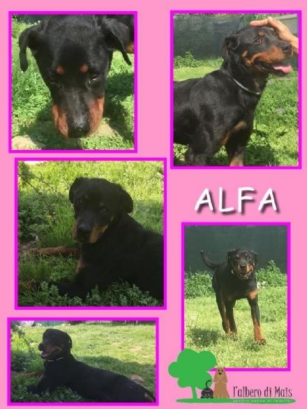 Alfa è una cucciola di rottweiler arrivata in canile denutrita. Ora cerca casa