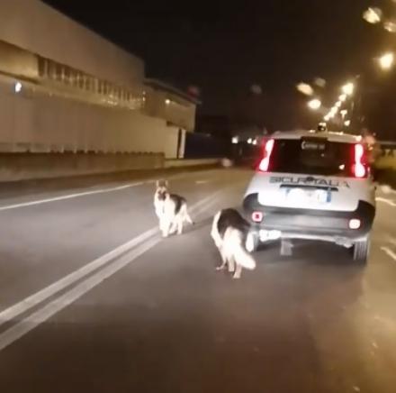 LA LOGGIA - Due cani si perdono e mandano in tilt la provinciale