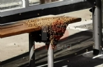 NICHELINO - Uno sciame di api invade la fermata del bus: passeggeri in fuga per evitare punture - FOTO - immagine 3