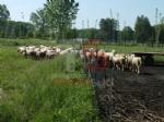 VINOVO - Pitbull impazzito fa strage di pecore in un agriturismo: era scappato al controllo dei padroni - immagine 3