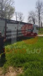 CARMAGNOLA - Camion carico di vitellini finisce fuori strada - FOTO - immagine 3