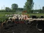 VINOVO - Pitbull impazzito fa strage di pecore in un agriturismo: era scappato al controllo dei padroni - immagine 4