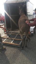 MONCALIERI - Asina scappa dalla stalla ed entra in tangenziale, fermata dalla polizia stradale - LE FOTO - - immagine 1