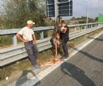 MONCALIERI - Asina scappa dalla stalla ed entra in tangenziale, fermata dalla polizia stradale - LE FOTO - - immagine 2
