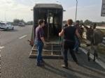 MONCALIERI - Asina scappa dalla stalla ed entra in tangenziale, fermata dalla polizia stradale - LE FOTO - - immagine 5