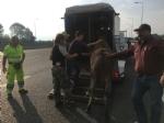 MONCALIERI - Asina scappa dalla stalla ed entra in tangenziale, fermata dalla polizia stradale - LE FOTO - - immagine 3