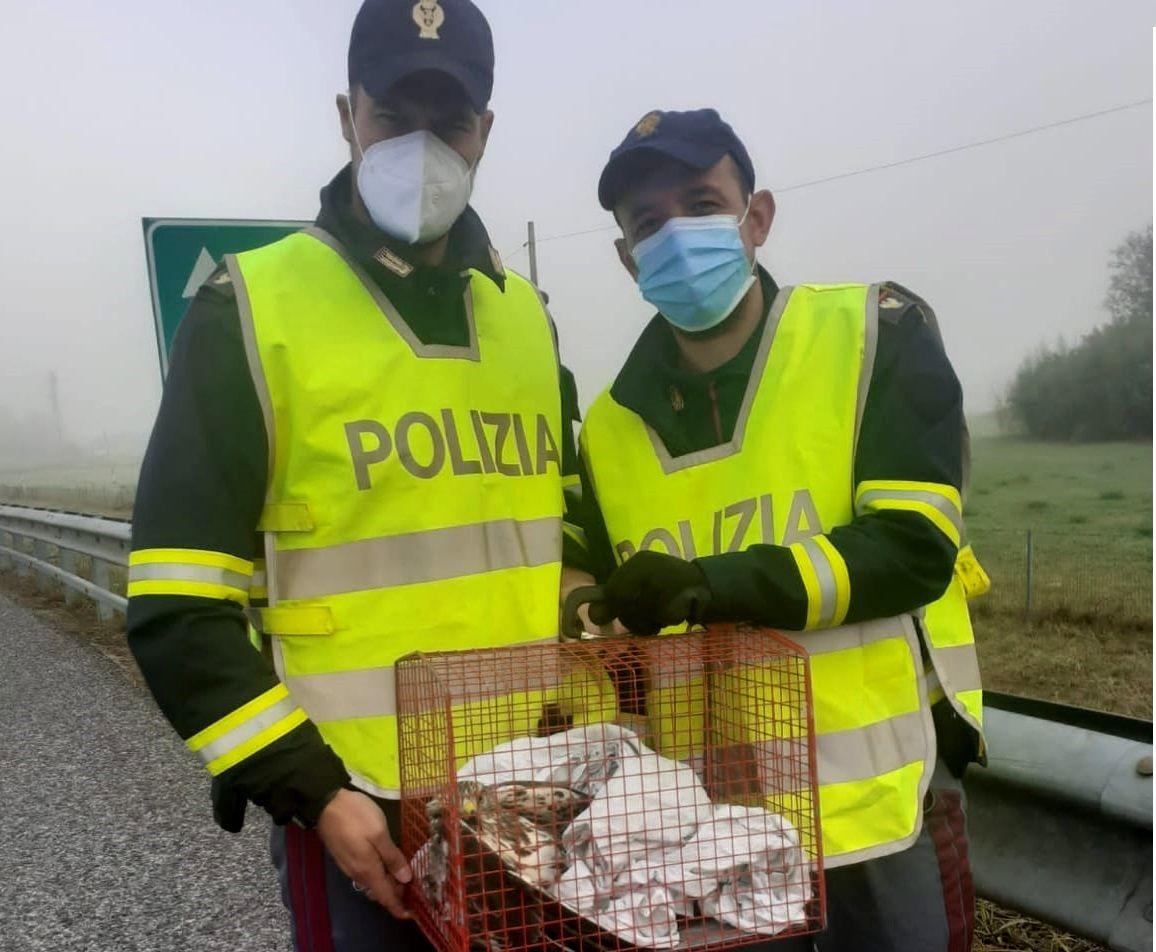 MONCALIERI - Rapace ferito precipita in autostrada: salvato da una pattuglia della polizia stradale