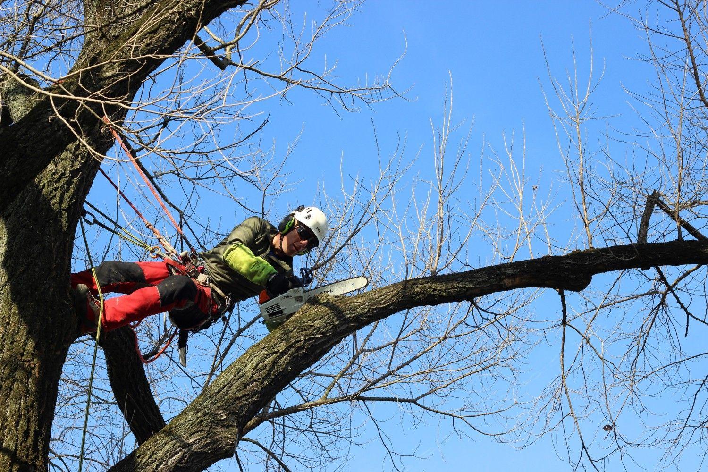 CARMAGNOLA - 66 alberi pericolosi saranno abbattuti dal Comune per evitare crolli improvvisi
