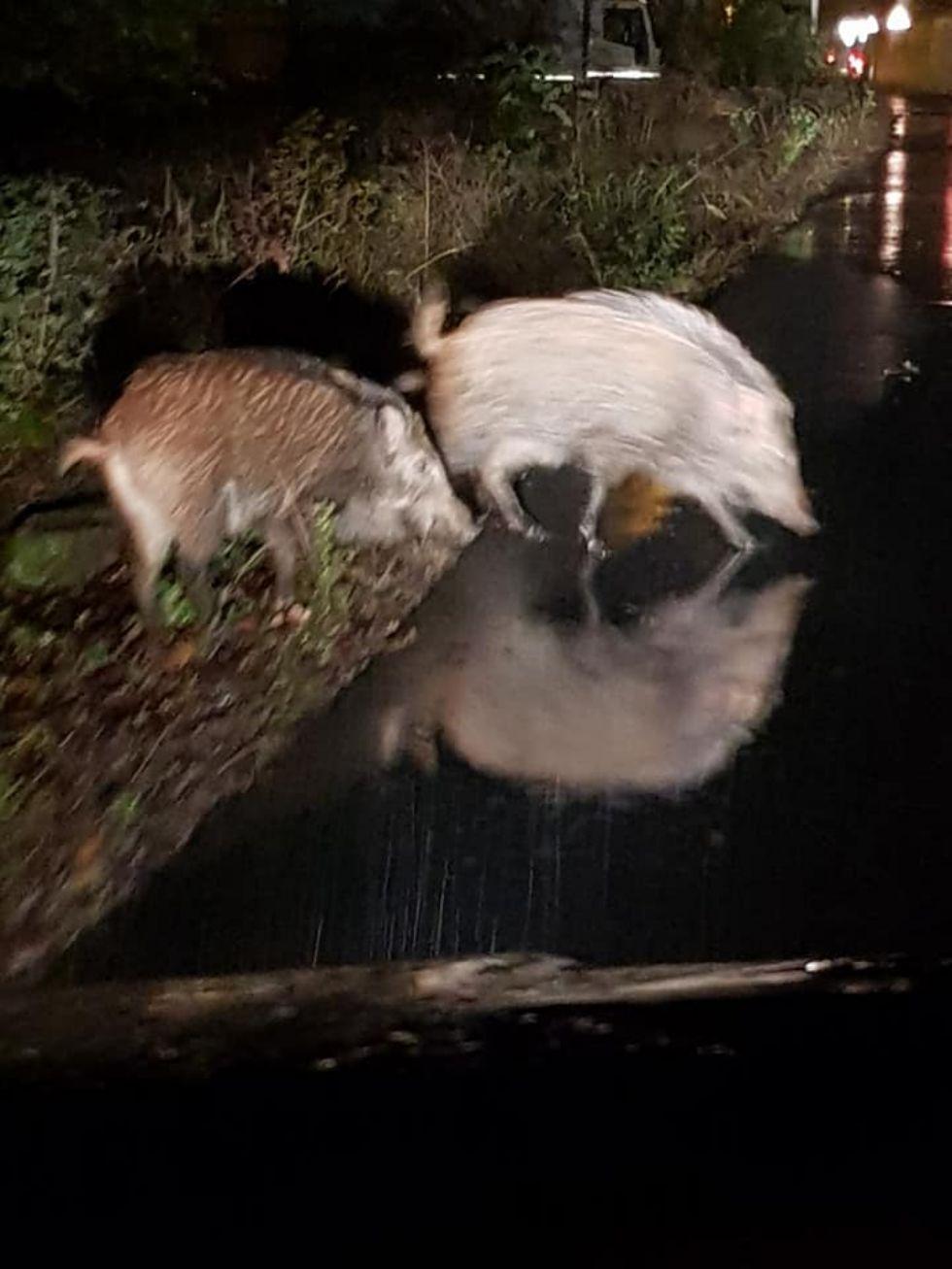 BRUINO - Cinghiali avvistati nella zona di via Villarbasse: allerta per le auto