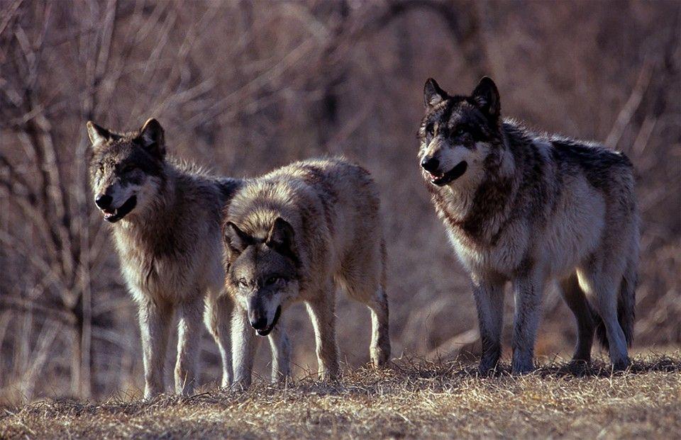 PIOSSASCO - Segnalato il primo branco di lupi nei pressi del parco naturale del Monte San Giorgio