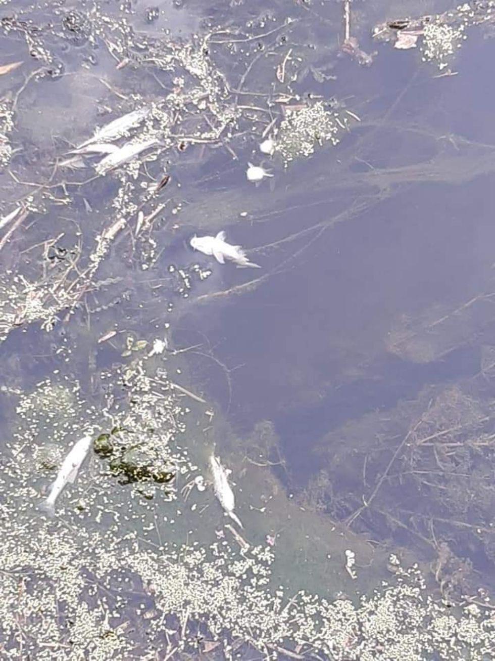 VIRLE - Moria di pesci nel canale dei Prati: chiazza nera nel corso d'acqua
